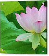 White Lotus Flower Acrylic Print