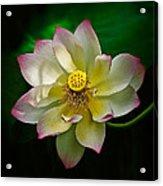 White Lotus Acrylic Print