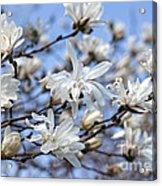 White Magnolia Magnificence Acrylic Print