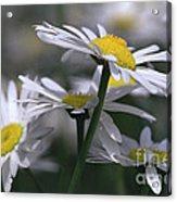 White Marguerite Acrylic Print