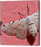 White Moth And Eggs Acrylic Print