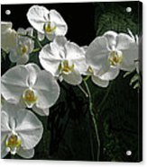 White Moth Orchid Phalaenopsis And Ferns Acrylic Print