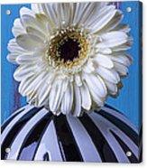 White Mum In Striped Vase Acrylic Print