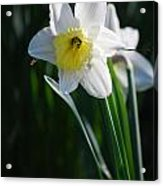 White Narcissus Acrylic Print