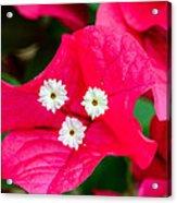 White On Red Trinity Acrylic Print
