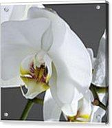 White Orchid 1b Acrylic Print