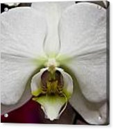 White Orchid Close Acrylic Print by Timothy Blair
