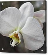 White Orchid Acrylic Print by Elisabeth Witte