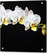 White Orchids Acrylic Print by Adam Romanowicz