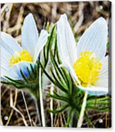White Pasque Flower Acrylic Print