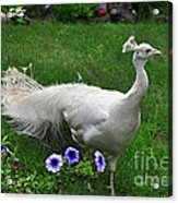 White Peacock In Our Garden Acrylic Print