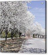 White Pear Trees Casting Shadows Acrylic Print