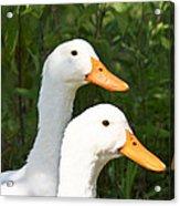 White Pekin Duck Acrylic Print
