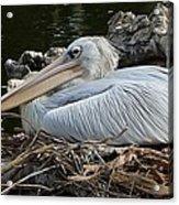 White Pelican 1 Acrylic Print