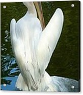 White Pelican Back Acrylic Print
