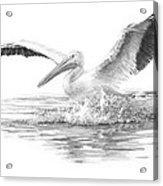 White Pelican Pencil Portrait Acrylic Print