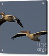White Pelican Photograph Acrylic Print