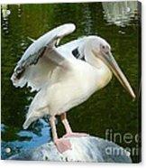 White Pelican Standing  Acrylic Print