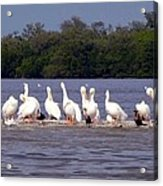 White Pelicans And Little Friends Acrylic Print