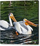White Pelicans Fishing For Trout Acrylic Print by Kathleen Bishop