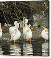 White Pelicans Grooming Acrylic Print