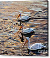 White Pelicans  In Golden Water Acrylic Print