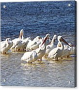 White Pelicans On Sanibel Island Acrylic Print