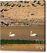 White Pelicans Acrylic Print