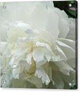 White Peony After Rain 1 Acrylic Print