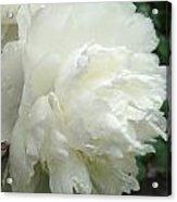 White Peony After Rain Acrylic Print