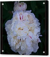 White Peony And Companion Abstract Flower Painting Acrylic Print