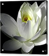 White Petals Aquatic Bloom Acrylic Print by Julie Palencia