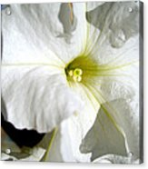 White Petunia Acrylic Print