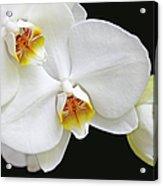 White Phalaenopsis Orchid Flowers Acrylic Print
