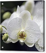 White Phalaenopsis With Water Drops 5797 Acrylic Print