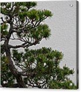 White Pine Bonsai Acrylic Print