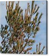 White Pine In Spring Acrylic Print