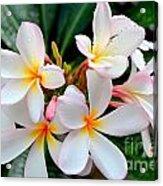 White Plumeria - 1 Acrylic Print