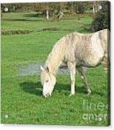 White Pony On The Moors Acrylic Print