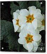 White Primroses Acrylic Print