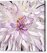 White Purple Dahlia Acrylic Print