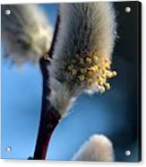 White Pussy Willow In Bloom Acrylic Print