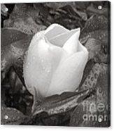 White Rain Acrylic Print