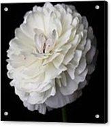 White Ranunculus Flower Acrylic Print