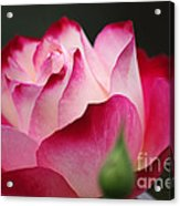 White Red Rose 01 Acrylic Print
