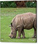 White Rhino 12 Acrylic Print