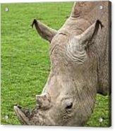 White Rhino 15 Acrylic Print