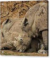 White Rhino 2 Acrylic Print