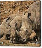 White Rhino 3 Acrylic Print