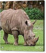 White Rhino 5 Acrylic Print